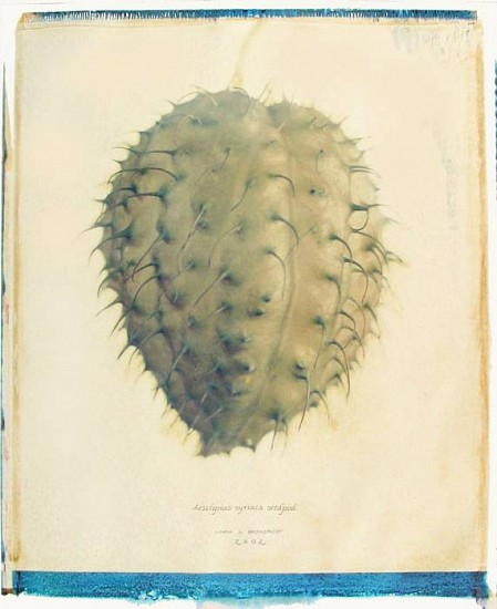 Linda Broadfoot, Aesclepias Syriaca Seedpod 2002, polaroid transfer on fabriano paper
