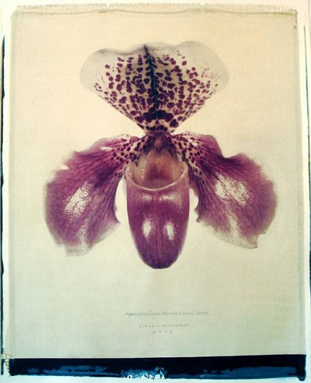 Linda Broadfoot (LA), Paphiopedilum Mazalan x Small World 2006, polaroid transfer on fabriano paper