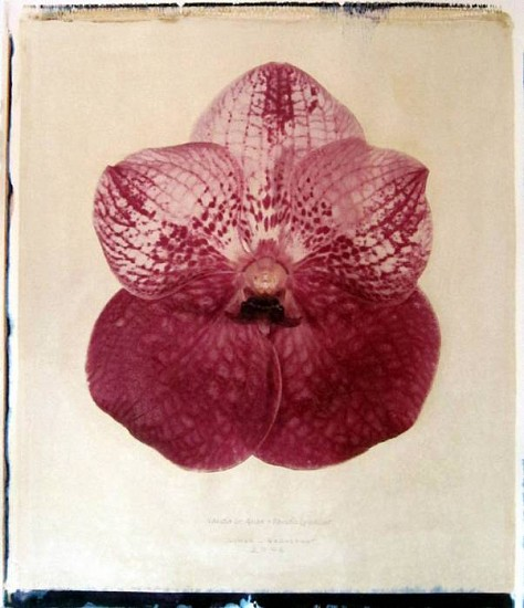 Linda Broadfoot (LA), Vanda Dr. Anek x Lenavat, no. 2 of 5 2006, hand manipulated polaroid transfer on Fabriano paper