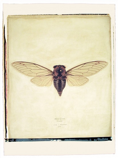 Linda Broadfoot, Tibien lyricen (Cicada) US Mass. no. 3 of 3 2003, hand manipulated polaroid transfer on Fabriano paper