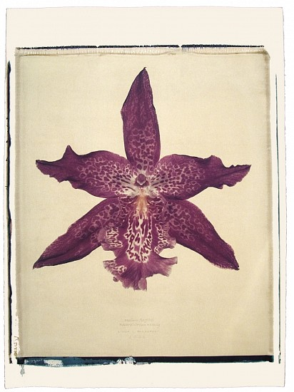Linda Broadfoot, Beallara Marfitch (Howard's Dream x Amity) 2006, hand manipulated polaroid transfer on Fabriano paper