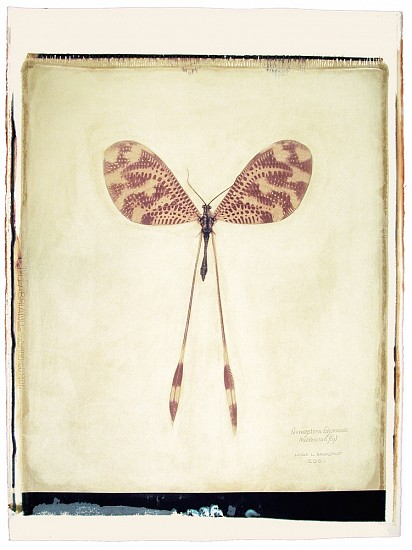 Linda Broadfoot, Nemoptera Bipennis (Ribbon Tail Fly), No. 1 of 3 2006, hand manipulated polaroid transfer on Fabriano paper