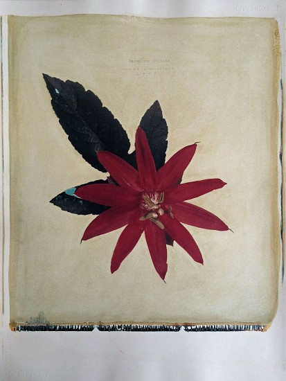 Linda Broadfoot, Passiflora coccinea (Red Passion Flower) 2/4 2007, hand manipulated polaroid transfer on Fabriano paper