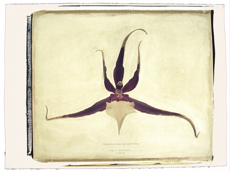 Linda Broadfoot, Odontobrassium Kenneth Bivin, no. 4 of 5 2003, hand manipulated polaroid transfer on Fabriano paper