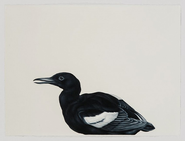 Shelley Reed, Black Guillemot (after Blackburn) 2016, oil on paper