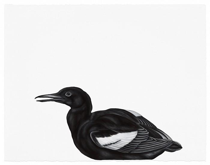 Shelley Reed, Black Guillemot (after Blackburn) 2017, oil on paper